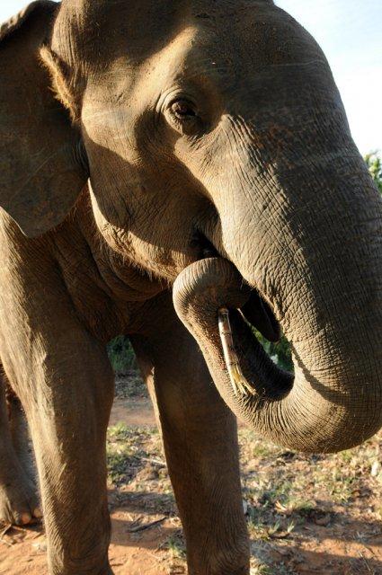 Слоненок в Национальном парке Udawalawe, Шри-Ланка