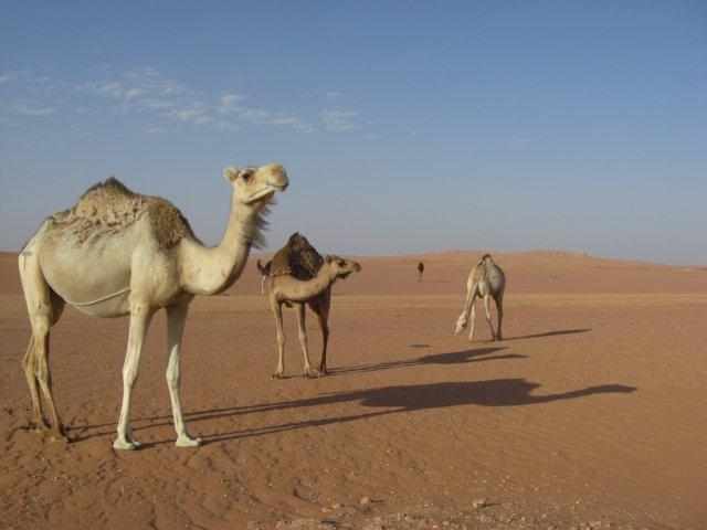 Верблюды в пустыне Сахара, Алжир