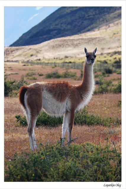Гуанако, более крупный вид, что водится в Патагонии