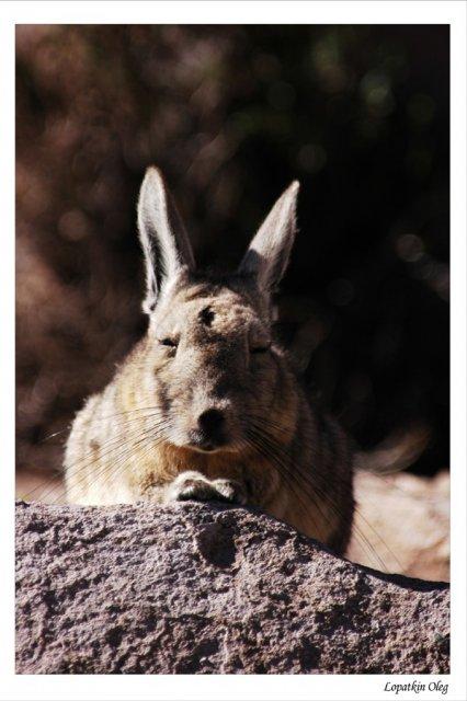 Что то между зайцем и тушканчиком