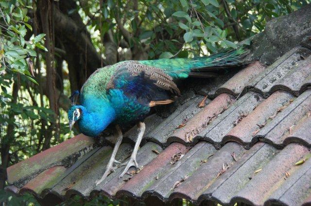Павлин в Парке Птиц, Куала-Лумпур