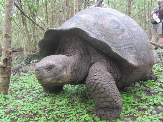 Черепаха, Эквадор