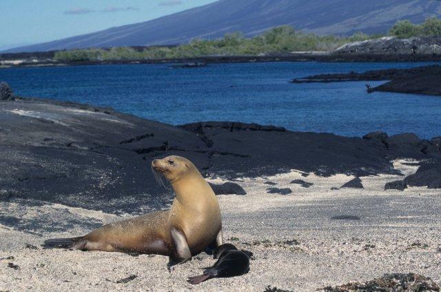 Морской лев с детенышем, Галапагосские острова