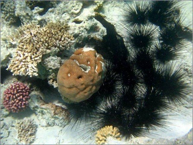 Диадемовые морские ежи, Красное море