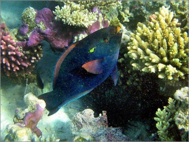 Рыба-попугай, Красное море