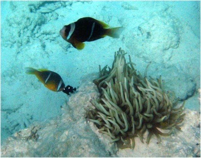 Гиганская анемона и рыбы-клоуны (амфиприон двухполосый)