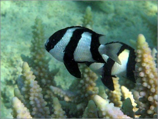 Рыбки бон-бон, Красное море