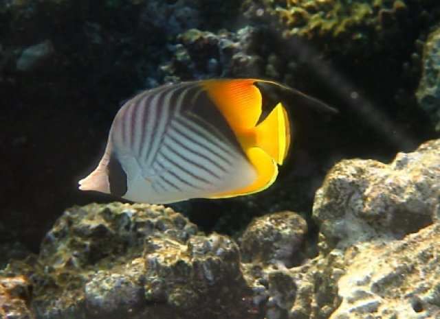 Нитевидноплавничковая рыба-бабочка