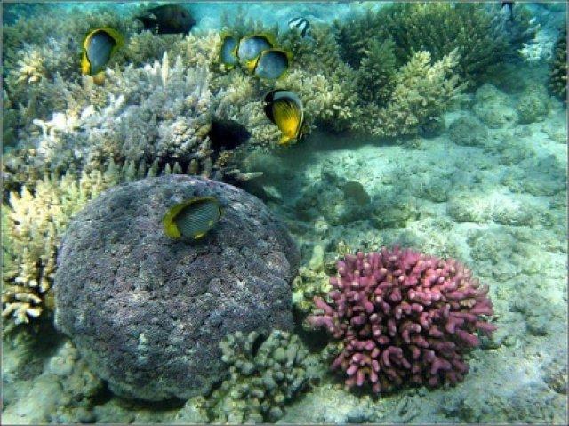 Рыбы-бабочки над кораллами, Хургада