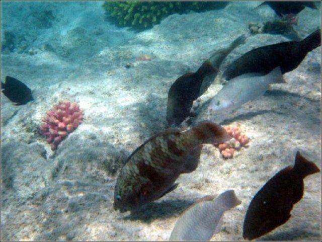 Рыбы кормятся, Красное море