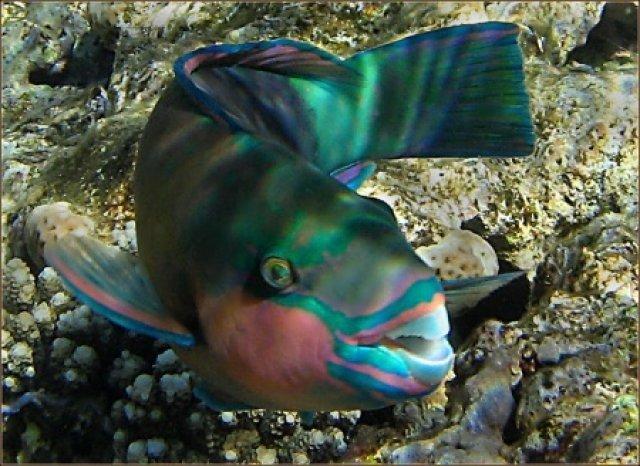 Рыба-попугай, Египет