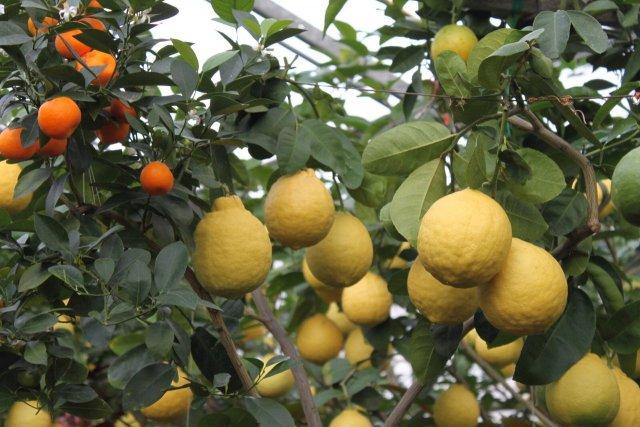 Лимонарий, Саратов