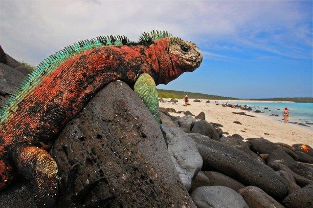 Игуана на острове Эспаньола, Галапагосские острова