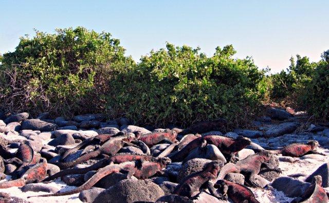 Игуаны во время брачного сезона на острове Эспаньола, Галапагосские острова