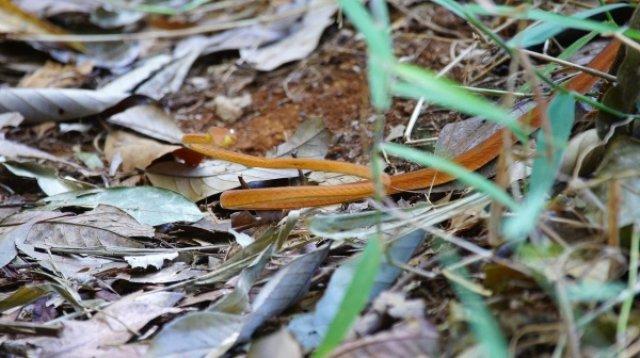 Эта змея ядовитая