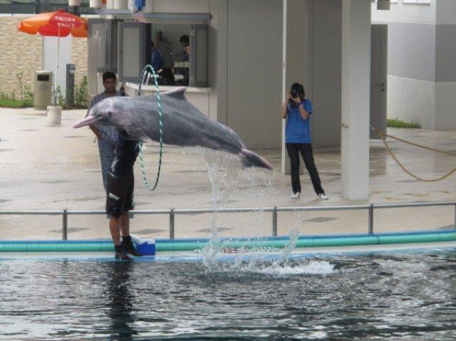 Розовый дельфин, Сентоза