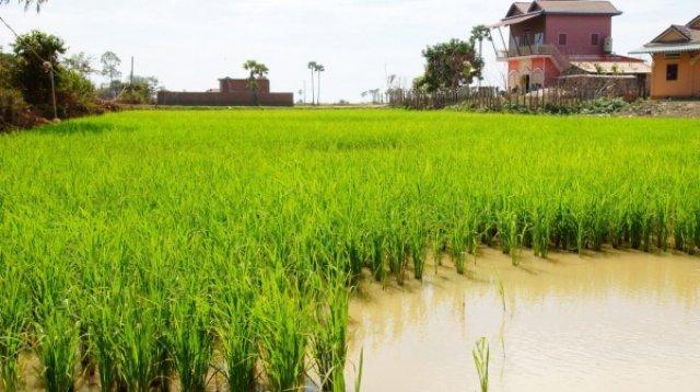Вырастет рис- будет пища