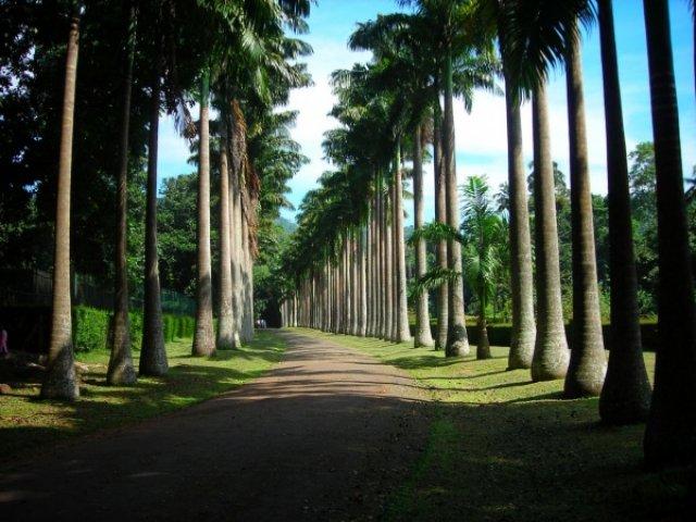 Пальмовая алея, ботанический сад Канди, Шри-Ланка