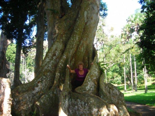 Большое дерево в ботаническом саду, Шри-Ланка