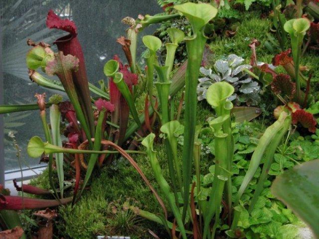 Растение-хищник в ботаническом саду Сингапура