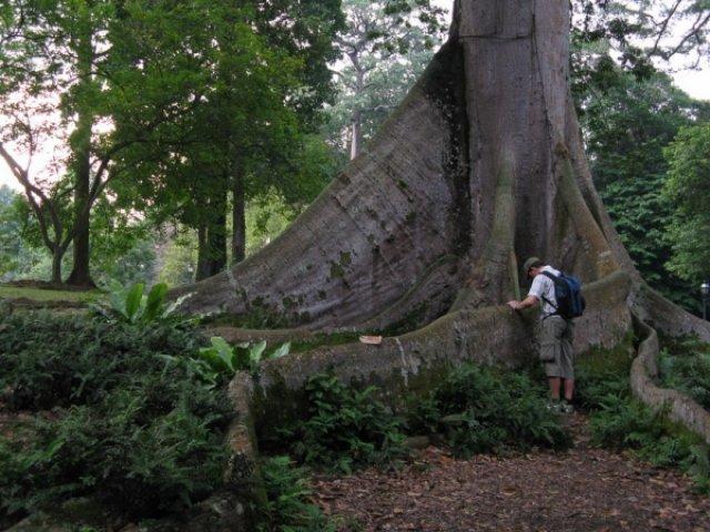 Дерево гигант в ботаническом саду Сингапура
