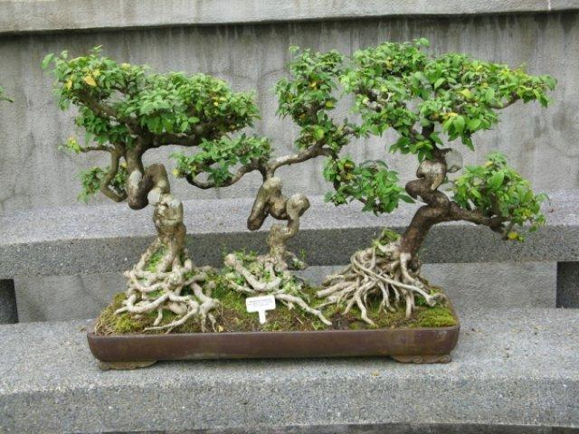 Бонсаи - деревья малютки