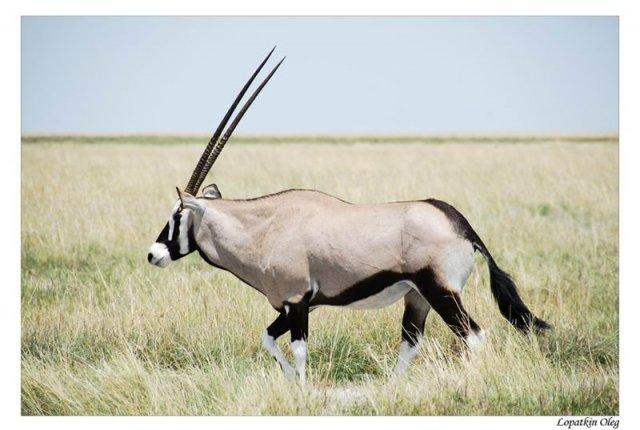 Oryx , нац. парк Etosha