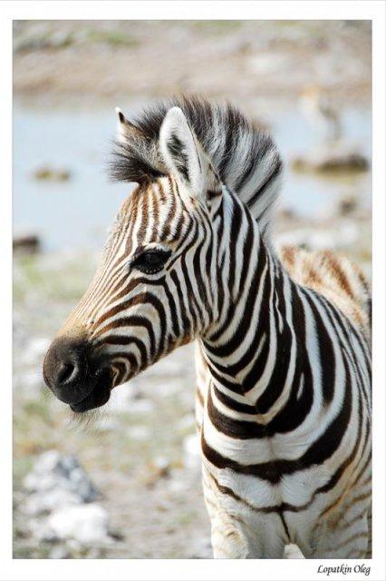 Детеныш зебры, нац. парк Etosha