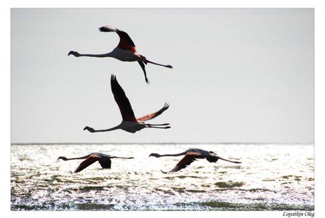 Фламинго на закате в районе Walvis Bay