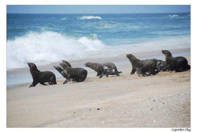 Небольшая колония морских котиков по пути к Pelican point