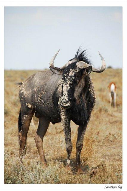 Antilope gnu , нац. парк Etosha