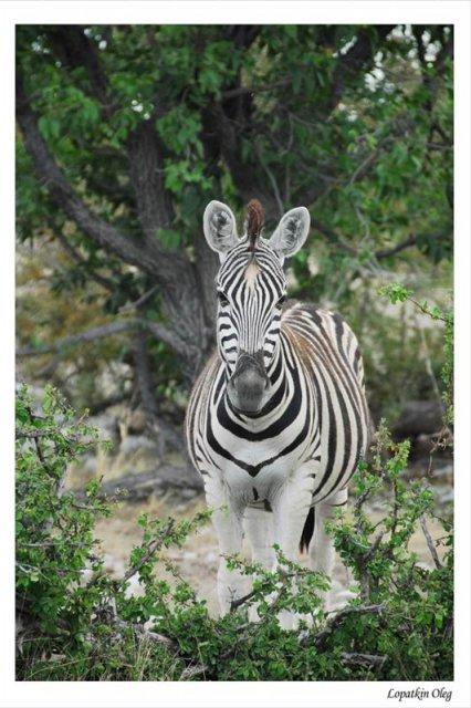 Зебра, нац. парк Etosha