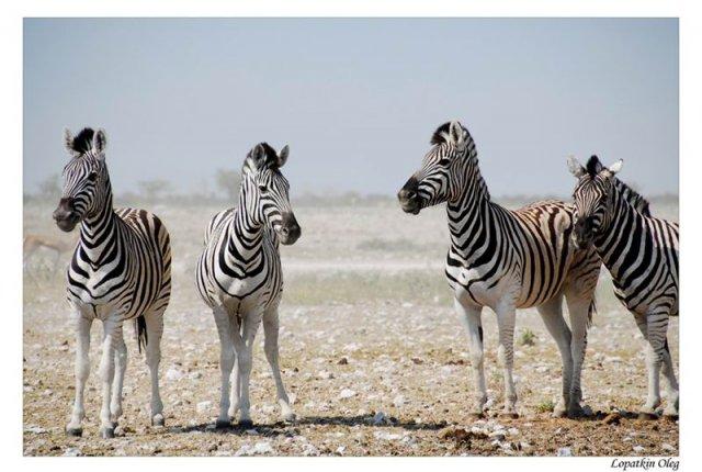 Зебры, нац. парк Etosha