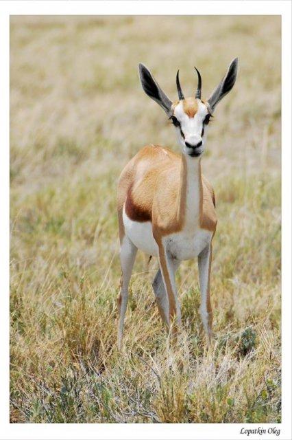 Springbok, нац. парк Etosha