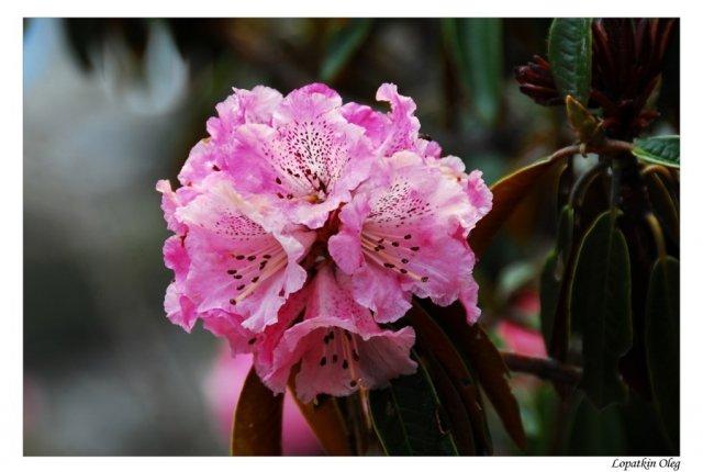 цветы предгорий Гималаев