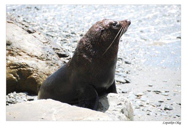 Обитатель колонии морских котиков