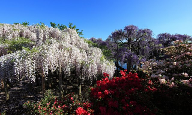 Глицинии в парке Асикага, Япония