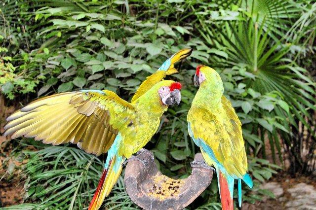 Попугаи, Мексика