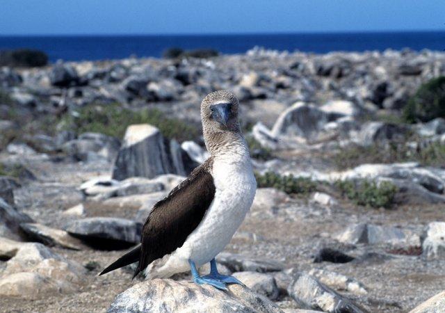 Голубоногая о́луша, Галапагосские острова