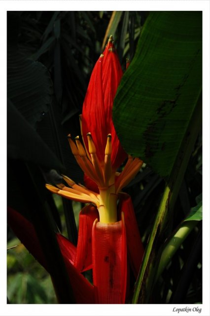 Цветущая банановая пальма в джунглях, по пути к месту добычи корундов