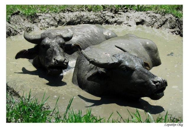 Температура 40 градусов Ц и выше, все животные спасаются от жары как могут