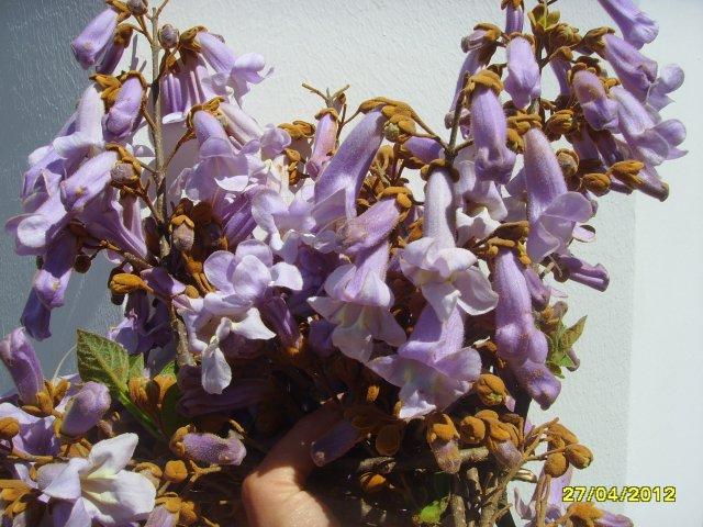 Цветы дерева Павловния