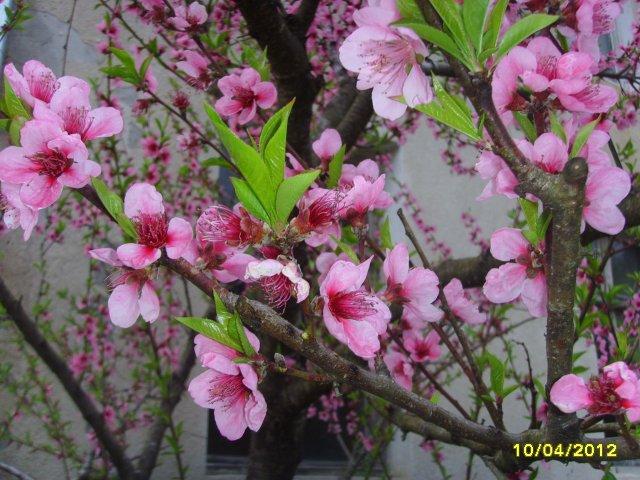Цветёт персиковое дерево