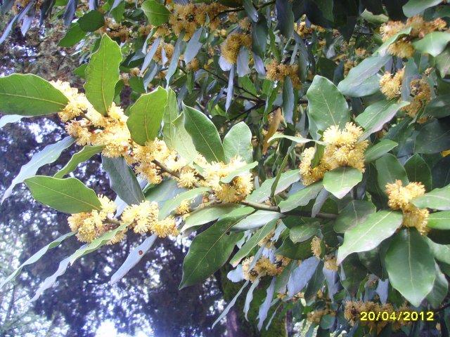 Цветёт лавровое дерево