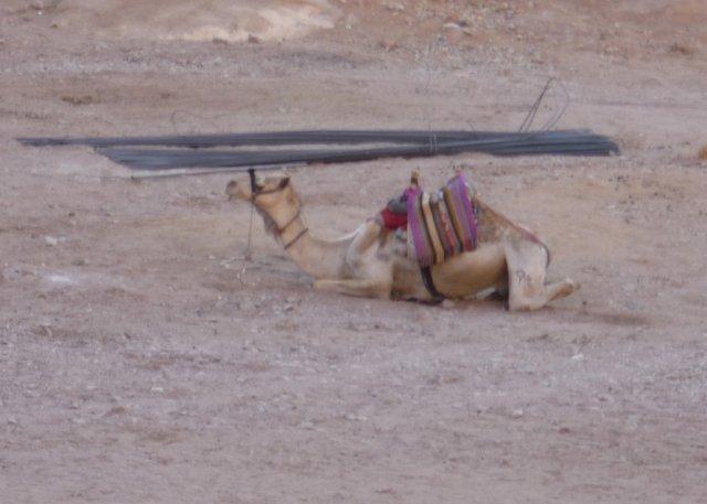 Верблюд всегда готов помочь человеку