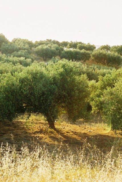 Оливковый сад на Кипре