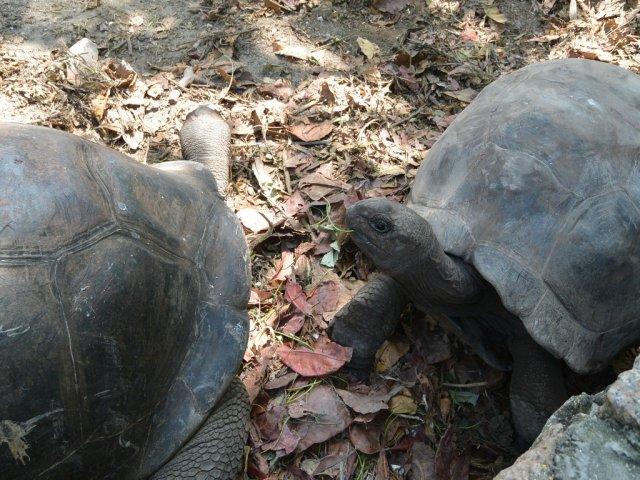 Гигантские черепахи на Ла Диге.