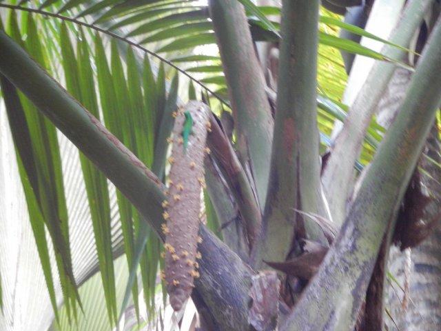 Мужская особь пальмы Коко дель мар.