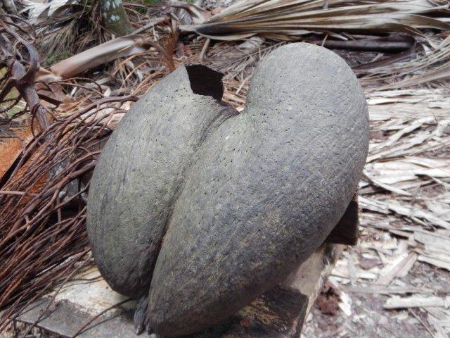 Плод Коко дель мар.
