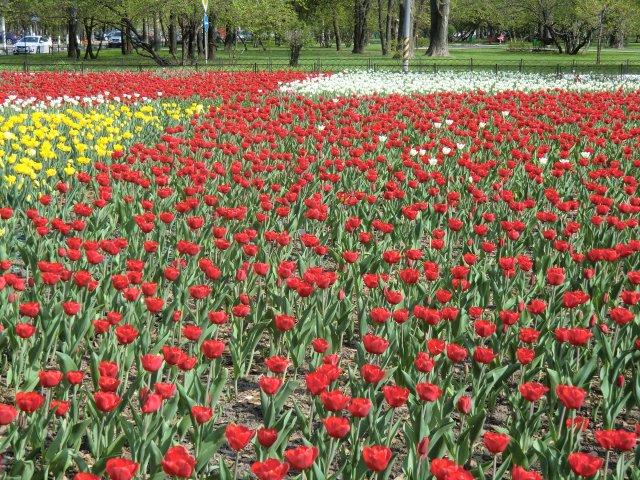 Май. Тюльпаны на ул.Гарибальди.